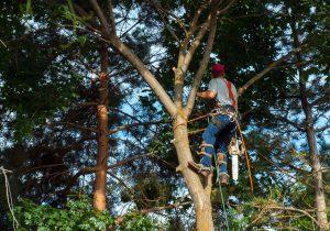 Travaux d'élagage d'un arbre