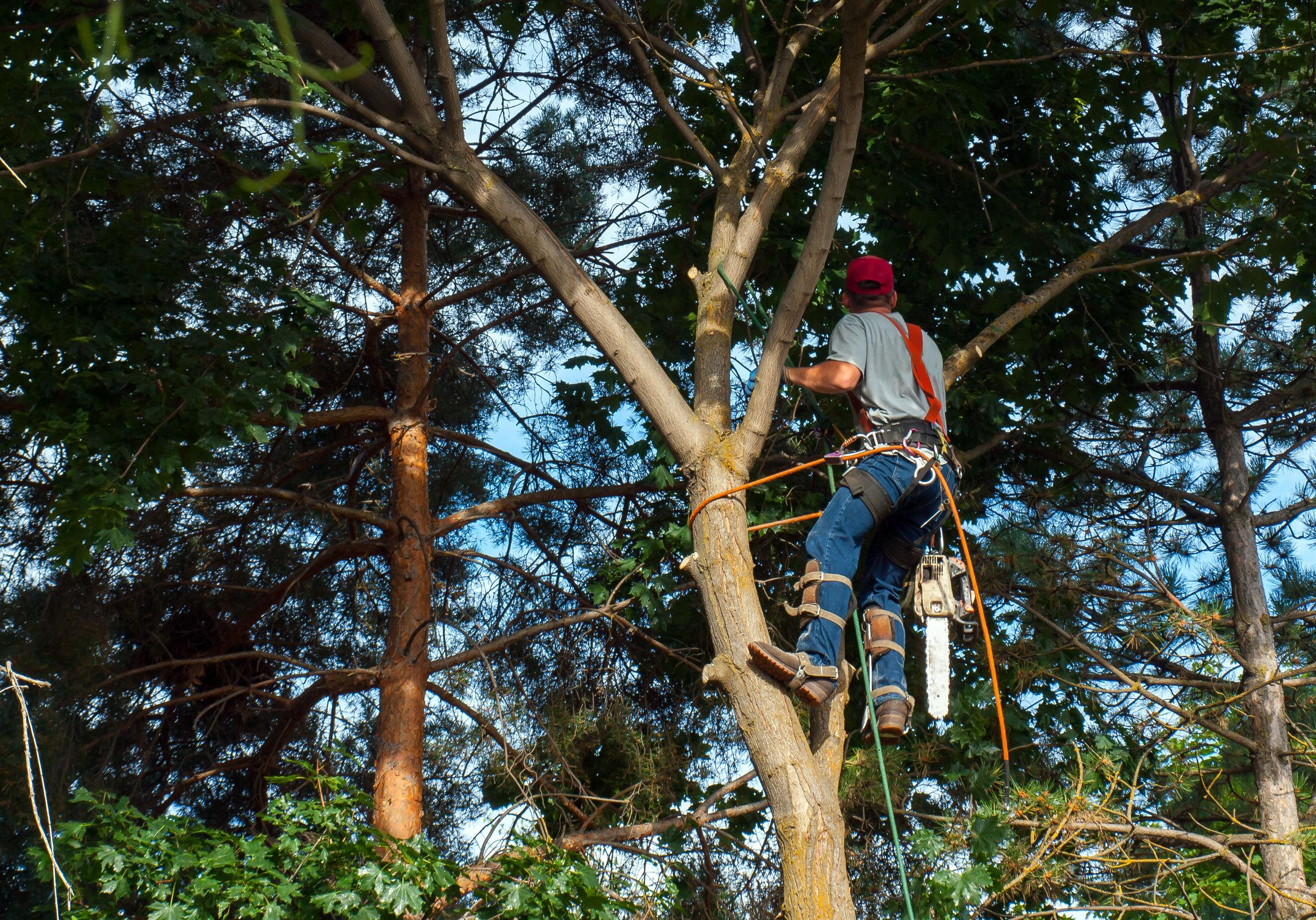 un élagueur professionnel traitant un érable, élagage, arboristerie